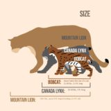 Size Comparisons of Cats