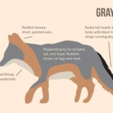 How to Identify Gray Fox Illustration