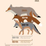 Size Comparisons for Coyotes and Foxes