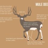 How to Identify Mule Deer Illustration