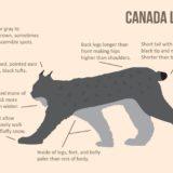 How to Identify Canada Lynx Illustration