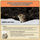Rocky Mountain Wild's Guide to Super Cool Species - American Pika