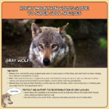 Rocky Mountain Wild's Guide to Super Cool Species - Gray Wolf